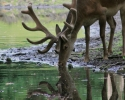 red-deer-in-velvet-drinking