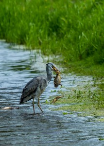 Grey heron catching and eating a mallard duck duckling