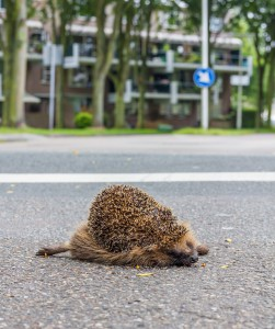 fully grown hedgehog dead on the road after being hit by a car