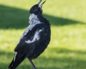 chirpy-magpie-longbeach-march-2014