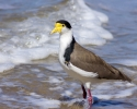 spur-winged-plover-taroona-beach-march-2014