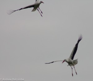 flying storks at Marlot