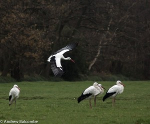 more storks at Marlot