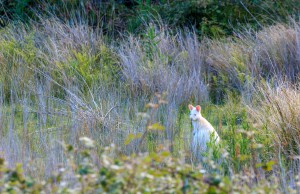 Albino wallaby 1