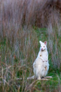 Albino wallaby 2