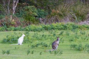 White albino bennetts wallaby with brown grey wallaby