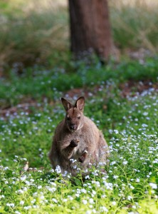 Albino wallaby 6